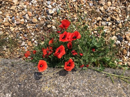 beach poppies 1