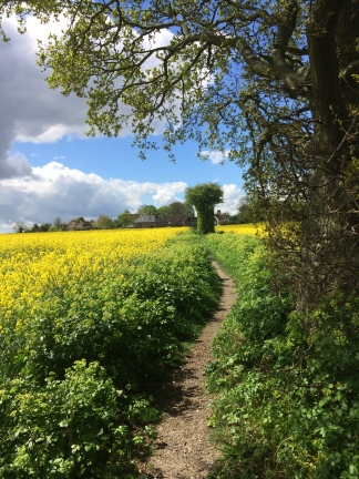 Rape fields2