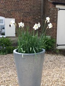 Narcissi tub