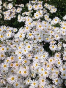 Flora's daisies