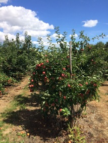 Orchard apples