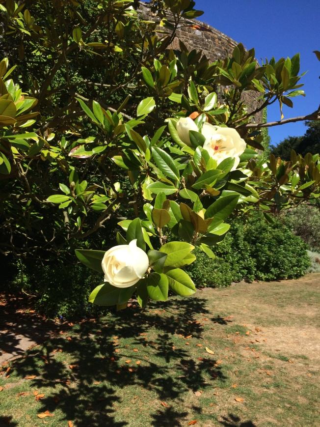 Walmer magnolia
