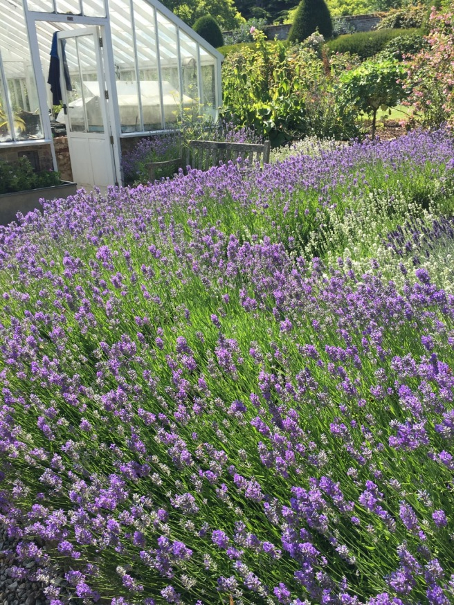 Goodnestone lavender