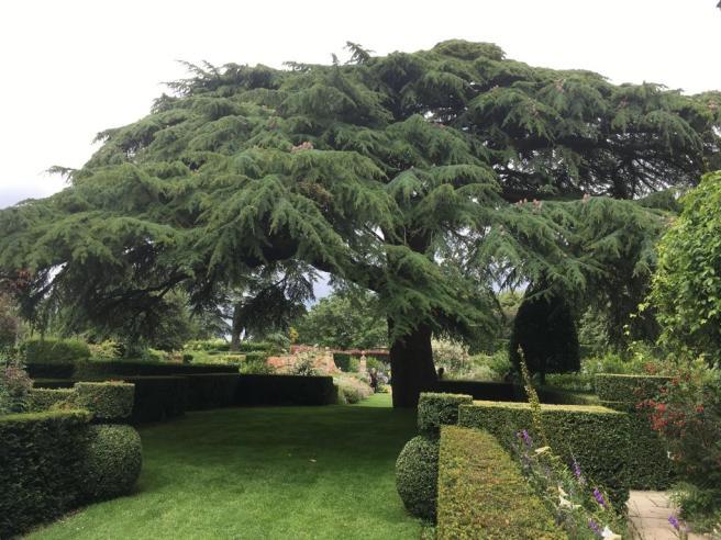 Hidcote tree