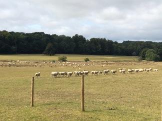 sheep near pig